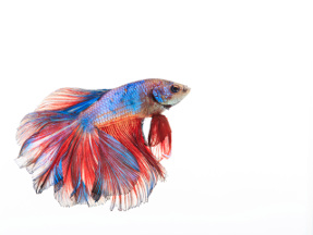 Photo of a betta fish, a type of freshwater fish.
