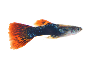 Photo of a guppy, a type of freshwater fish.