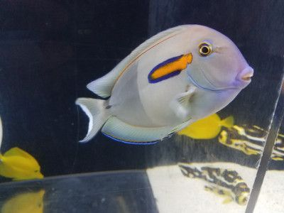 An saltwater fish swimming in an aquarium