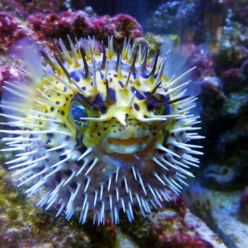 Image of a puffer tropical fish by Living Art Aquatics