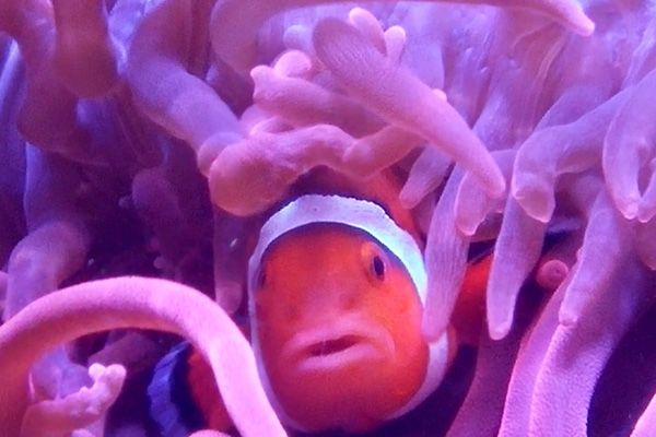 Image of a Tropical Fish (clown fish) hiding in a sea anemone